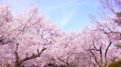 桜満開5c14926204f1f53a159fcfd3063ba075_t