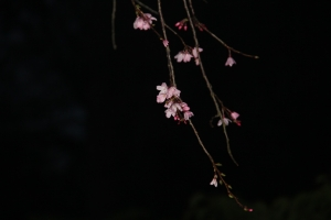 night-sakura-2467704_1920