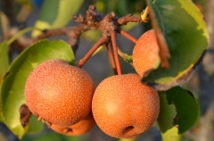 pears-2706253_1920