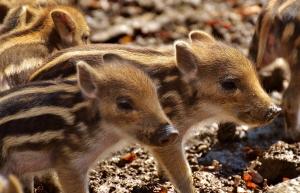 wild-pigs-2782624_1920
